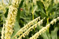 bee collecting pollen from corn