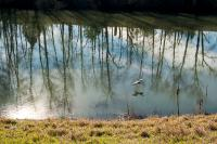 blue heron flying across the slough with reflection