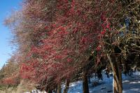 Hawthorne Tree with Red berries and Robins
