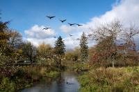 geese flying in to Westmoreland park