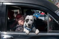 Woman with re dhair and black and white dog riding in a hearse in a parade.