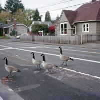 Geese crossing SE Tacoma Street
