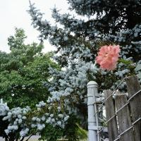 Rose hanging over fence with spruce trees behind